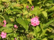Une Petite Fleur Rose Sauvage Avec 5 Petales Ronds Image Stock