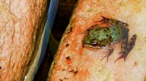 Une petite grenouille verte mignonne Photos libres de droits