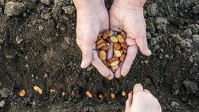 Une petite main de childs plante des graines dans la terre, un agriculteur plus âgé tient une poignée de grains tout près photographie stock libre de droits