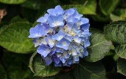 Une petite mouche se repose sur une fleur bleue d'hortensia Photo stock