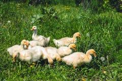 Une petite oie jaune sur une pelouse verte Photo stock