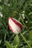 Une petite tulipe blanc rouge humide Photos stock