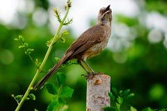 Une photo d'un jeune incurvé a affiché l'oiseau de thrasher Photo stock