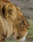 Lionne tracassée par des mouches en Afrique Images stock
