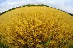 Une photo de fisheye de l'élevage de blé Image libre de droits