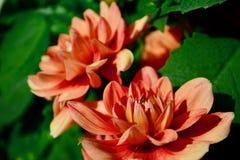Une photo en gros plan d'une belle fleur de dahlia de jardin photos libres de droits