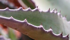 Une photographie d'agave de cactus d'une fin trouble photographie stock libre de droits