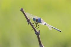 Une photographie de macro de libellule Photo stock