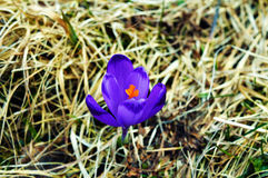 Une photographie des mauvaises herbes intermédiaires d'isolement d'une fleur pourpre Photo stock