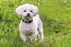 Une photographie très mignonne d'un chien maltais Image libre de droits