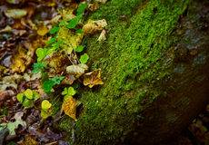 Une pierre couverte de la mousse et d'herbe dans la forêt d'automne Image libre de droits