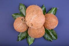 Une pile des noix de coco juteuses et tropicales avec les feuilles vertes fraîches sur un fond pourpre lumineux photo stock