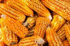 Une pile vibrante des épis de maïs séchant au soleil Photos libres de droits