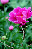 Une pivoine rose Image libre de droits
