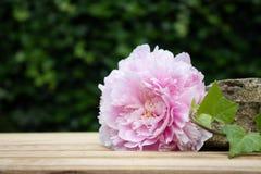 Une pivoine rose en pleine floraison dans le jardin Photo stock