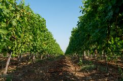 Une plantation de vignoble des vignes d'incidence de raisin Photo stock