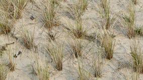 Une plantation du roseau des sables, arénaire d'Ammophila comme érosion se protègent Photographie stock libre de droits