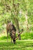 Une plus grande consommation de taureau de Kudu Images libres de droits