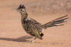 Une plus grande position de Roadrunner Image stock