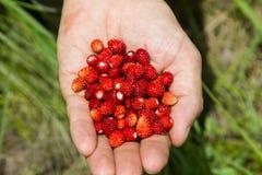 Une poignée de fraisiers communs Photos stock