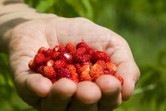 Une poignée de fraisiers communs Images libres de droits