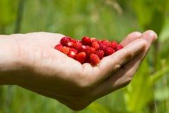 Une poignée de fraisiers communs Photo stock