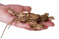 Une poignée de lézards Photo libre de droits