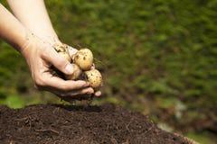 Une poignée de pommes de terre du cru Image stock