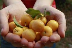Une poignée de prunes jaunes Image libre de droits