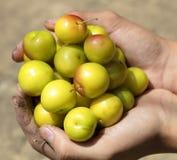 Une poignée de prunes mûres jaunes dans les mains Photographie stock libre de droits
