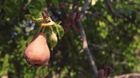 Une poire putréfiée entière accroche sur un arbre vert dans le jardin Le fruit corrompu d'une poire accroche sur une branche clips vidéos