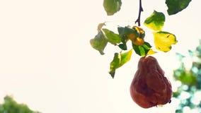 Une poire putréfiée entière accroche sur un arbre vert dans le jardin Le fruit corrompu d'une poire accroche sur une branche banque de vidéos