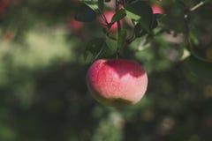 Une pomme accrochant sur l'arbre Photos stock