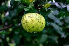 Une pomme de crabe enragé pend d'une branche d'arbre avec la rosée de matin dessus image libre de droits