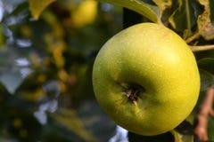 Une pomme pend d'un arbre images stock