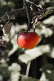 Une pomme rouge. Moisson d'automne Photographie stock