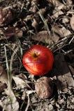 Une pomme rouge. Moisson d'automne Image stock