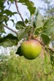 Une pomme verte Image libre de droits