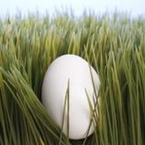 Une ponte d'oeufs blanche dans l'herbe. images stock