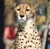 Une pose de guépard photos stock