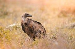 Une position à dos blanc solitaire de vautour dans l'herbe au parc national de Kruger, Afrique du Sud photo libre de droits