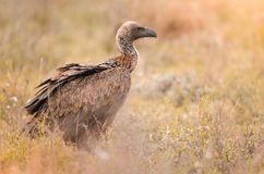 Une position à dos blanc solitaire de vautour dans l'herbe, parc national de Kruger, Afrique du Sud images stock