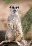 Une position d'isolement de Meerkat Photographie stock