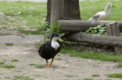 Une position de canard photo stock