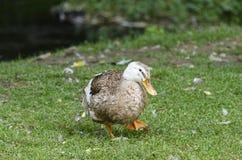 Une position de canard images libres de droits