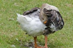 Une position de canard image stock