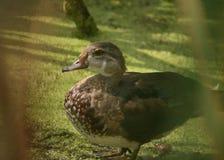 Une position de canard sur le rivage d'un lac photo stock
