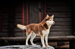 Une position de chien Images libres de droits