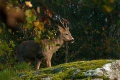 Une position de Roe Deer de mâle à côté d'une falaise de roche photos stock
