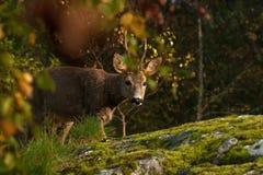 Une position de Roe Deer de mâle à côté d'une falaise de roche regardant la caméra image stock
